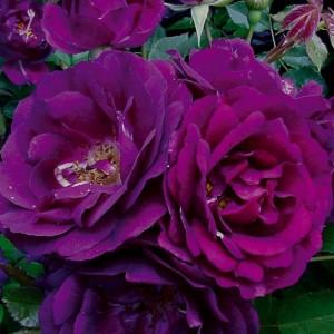 Роза New Age