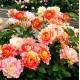 Роза ROSE DES CISTERCIENS