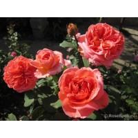 Роза  Rene Goscinny