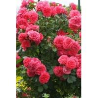 Роза Leonardo da vinchi