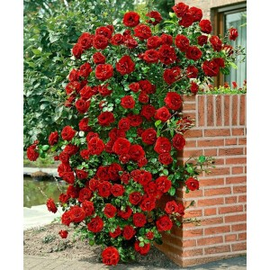 Роза      Amadeus