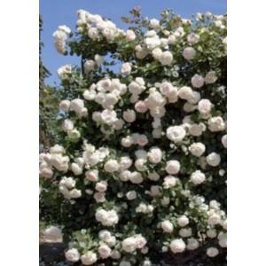 Роза    PALAIS ROYAL