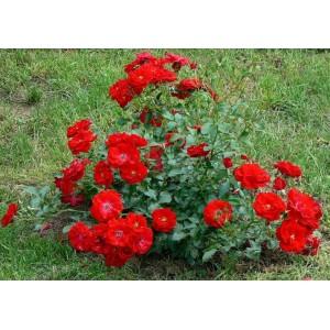 Роза  Austriana