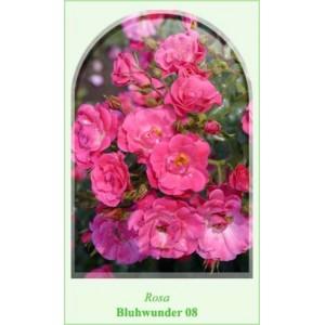 Роза  Bluhwunder