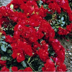 Роза  Centro-Rose