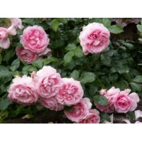 Роза Rosenfee