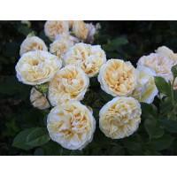 Роза COMTESSA