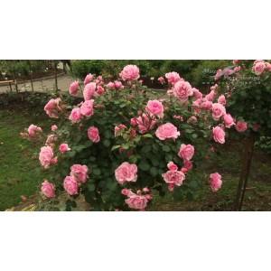 Роза    Bonica
