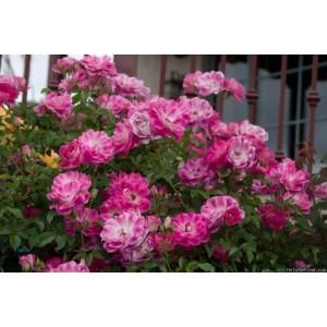 Роза   Brilliant Pink Iceberg
