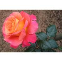 Роза   Freisinger Morgenrote