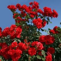 Роза   Kordes Brillant