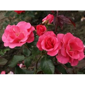 Роза   Romanze