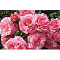 Роза    Royal Bonica